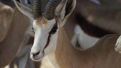 Springbok in the Kalahari