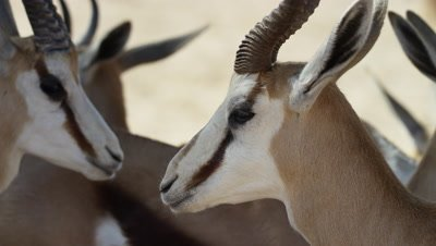 Springbok - close up of face from side