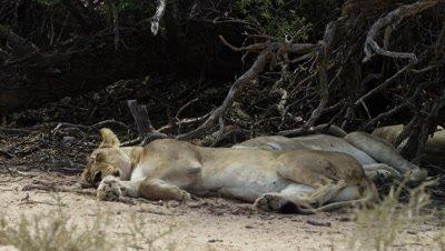 6K R3D - Lion - female sleeping in shade,medium