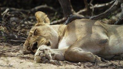 6K R3D - Lion - female sleeping in shade
