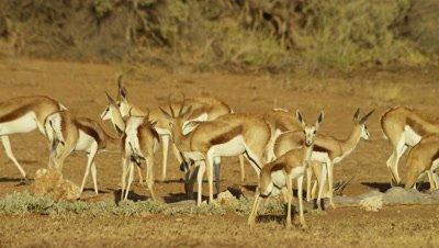 Springbok - herd drinking at waterhole