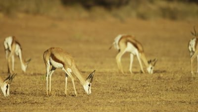 Springbok - herd grazing