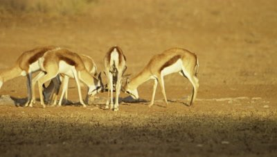 Springbok - group mock fighting