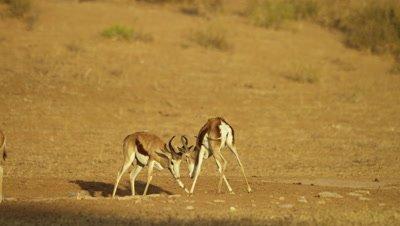 Springbok - pair of males fighting