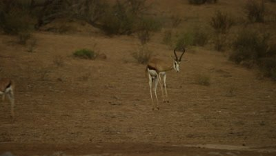 Springbok - running then pronking