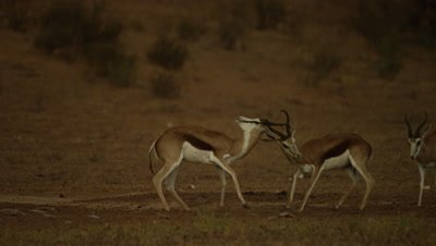 Springbok - pair fighting,one backs off