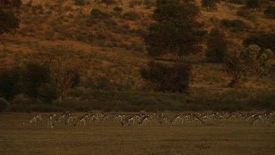 Springbok - herd wide,golden light