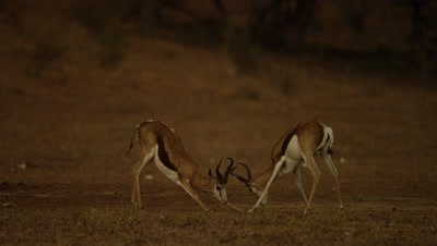 Springbok - pair locking horns