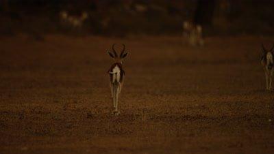 Springbok - walking away tail swinging