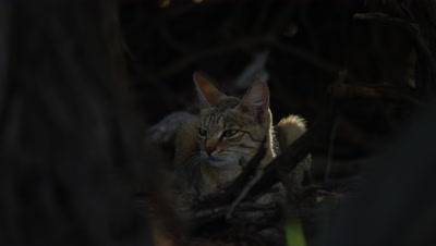 African Wildcat - lying down behind branches,looking around