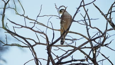 Lanner Falcon - sitting on dead tree