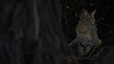African Wildcat - on right of frame,looking around