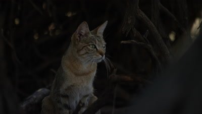 6K R3D - African Wildcat - sitting up,looking to right