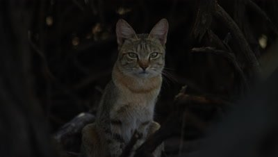African Wildcat - Sitting up looking at camera