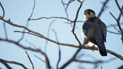 Lanner Falcon - sitting on dead tree,preening