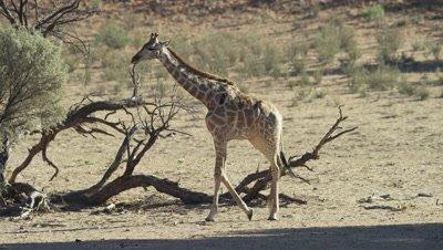 Giraffe - walks across frame,dead tree in background