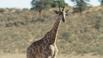 Giraffe - looking at camera then walks away