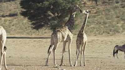 Giraffe - pair standing