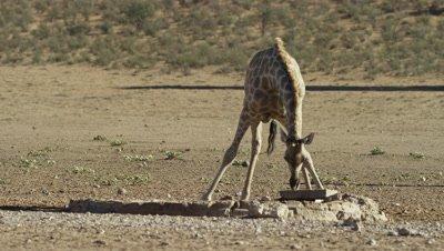 Giraffe - drinking from waterhole