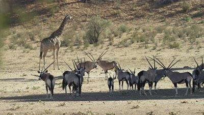 Gemsbok - herd in shade,giraffe behind