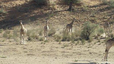 Giraffe - herd running down sand dune toward camera
