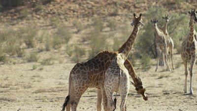 Giraffe - pair mock fighting