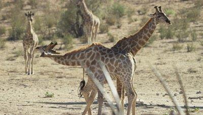 Giraffe - pair mock fighting,leg gets stuck