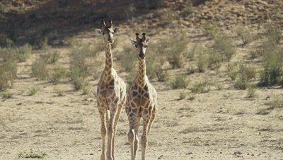 Giraffe - pair walking toward camera