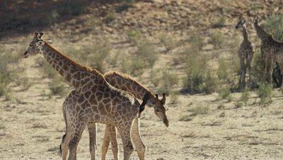 Giraffe - pair mock fighting,circling