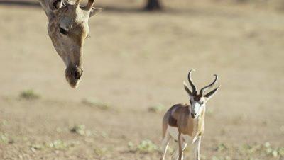 Giraffe - head rising up