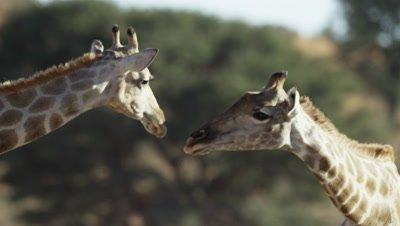 Giraffe - head against tree,second giraffe arrives