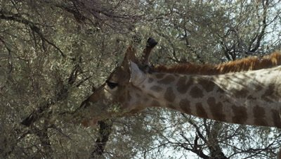 Giraffe - eating from thorn tree,using tongue 2