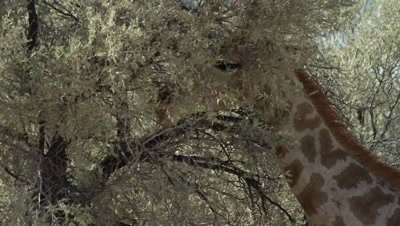 Giraffe - eating from thorn tree,using tongue