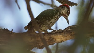 Golden-tailed Woodpecker - pecking and eating ants