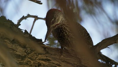 Golden-tailed Woodpecker - pecking and looking around