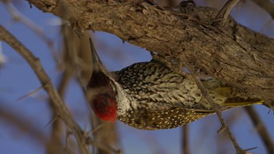 Golden-tailed Woodpecker - hanging under branch,looking for food
