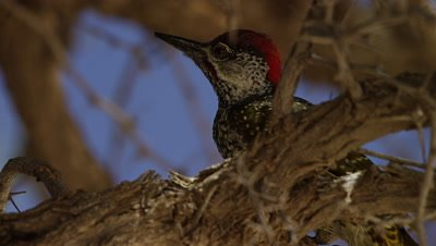 Golden-tailed Woodpecker - sitting on branch,flies off