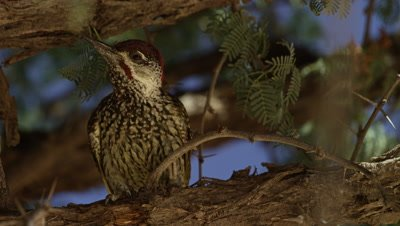 Golden-tailed Woodpecker - looks around then hops away