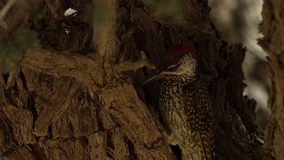 Golden-tailed Woodpecker - on trunk,pecking and eating ants