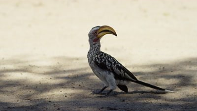 Yellow-billed Hornbill - looking around,hops toward camera