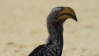 Yellow-billed Hornbill - close of head,flies away