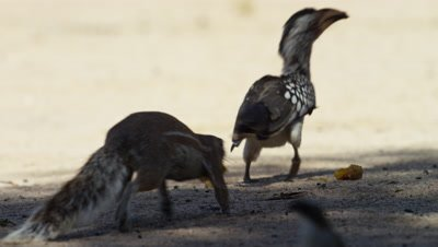 Yellow-billed Hornbill - eating,chased by ground squirrel