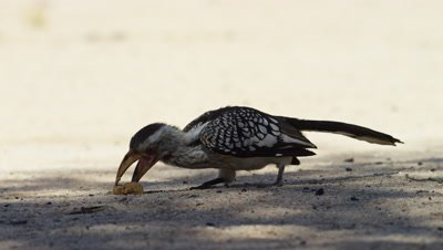 Yellow-billed Hornbill - pecking at food on ground