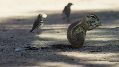 Cape Ground Squirrel - sitting up eating