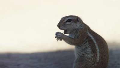Cape Ground Squirrel - sitting up eating,close up