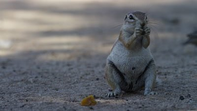 Cape Ground Squirrel - sitting up eating,facing camera,medium shot