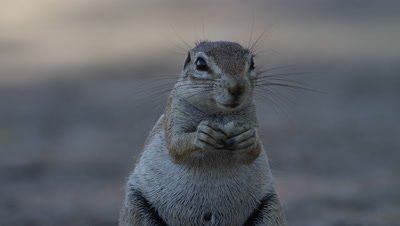 Cape Ground Squirrel - sitting up eating,close up,facing camera