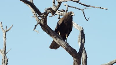 African Harrier-hawk - Juvenile on branch