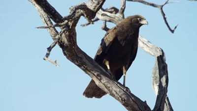 African Harrier-hawk - juvenile on branch 2