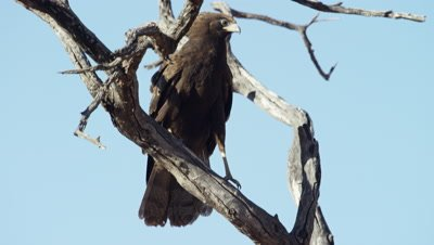 African Harrier-hawk - Juvenile on branch. Startled.